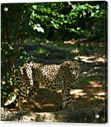 Cheetah On The In The Forest 2 Acrylic Print by Douglas Barnett