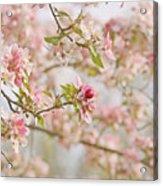 Cherry Blossom Delight Acrylic Print by Kim Hojnacki