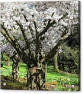 Cherry Blossom Tree Acrylic Print by Pierre Leclerc Photography