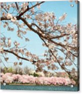 Cherry Blossoms Along The Tidal Basin Five Acrylic Print by Susan Isakson