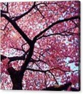 Cherry Tree Acrylic Print by Mitch Cat