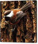 Chestnut-backed Chickadee On Tree Trunk Acrylic Print by Sharon Talson