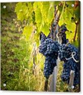 Chianti Grapes Acrylic Print by Jim DeLillo