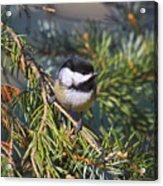 Chickadee-12 Acrylic Print by Robert Pearson