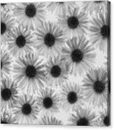 Chrysanthemum Flowers Acrylic Print by Graeme Harris
