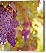 Close Up Of Grapes Acrylic Print by Boston Thek Imagery