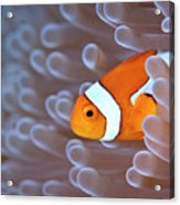 Clownfish In White Anemone Acrylic Print by Alastair Pollock Photography