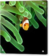 Clownfish On Green Anemone Acrylic Print by Alastair Pollock Photography