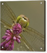 Common Darter Dragonfly Acrylic Print by Andy Astbury