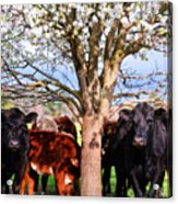Cool Cows Acrylic Print by Kelly Reber