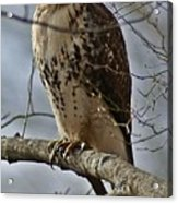 Cooper's Hawk 2 Acrylic Print by Joe Faherty