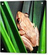 Coqui In Bromeliad Acrylic Print by Thomas R Fletcher
