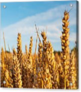 Corn Blowing In The Wind Acrylic Print by Chris Smith