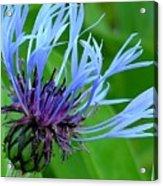 Cornflower Centaurea Montana Acrylic Print by Diane Greco-Lesser