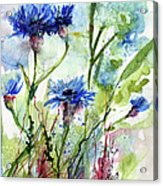 Cornflowers Korn Blumen Watercolor Painting Acrylic Print by Ginette Callaway