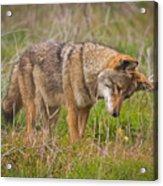 Coyote Acrylic Print by Carl Jackson
