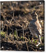 Crested Lark Acrylic Print by Cliff  Norton