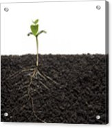 Cross-section Of Soybean Seedling Acrylic Print by Mark Thiessen