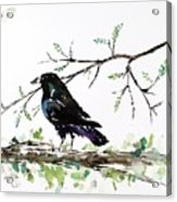 Crow On Branch Acrylic Print by Carolyn Doe