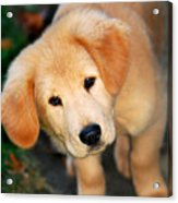 Curious Golden Retriever Pup Acrylic Print by Christina Rollo