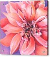 Dahlia 2 Acrylic Print by Phyllis Howard