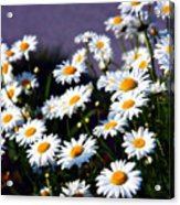 Daisies Acrylic Print by Lana Trussell
