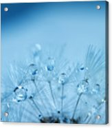 Dandelion Bouquet Acrylic Print by Rebecca Cozart