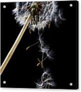 Dandelion Loosing Seeds Acrylic Print by Garry Gay