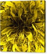 Dandelion Acrylic Print by Ryan Kelly