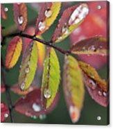 Dew On Wild Rose Leaves In Fall Acrylic Print by Darwin Wiggett