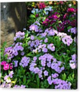 Dianthus Flower Bed Acrylic Print by Corey Ford