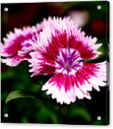 Dianthus Acrylic Print by Rona Black