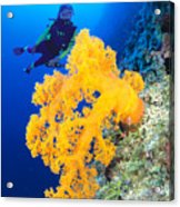 Diving, Australia Acrylic Print by Dave Fleetham - Printscapes