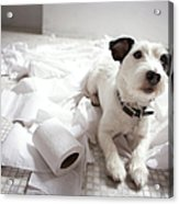 Dog Lying On Bathroom Floor Amongst Shredded Lavatory Paper Acrylic Print by Chris Amaral