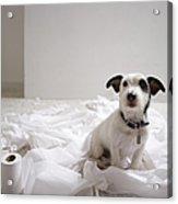 Dog Sitting On Bathroom Floor Amongst Shredded Lavatory Paper Acrylic Print by Chris Amaral