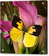Dogface Butterfly On Pink Calla Lily  Acrylic Print by Garry Gay