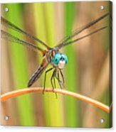 Dragonfly Acrylic Print by Everet Regal