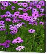 Dreaming Of Purple Daisies  Acrylic Print by Carol Groenen