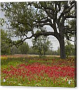 Drummonds Phlox Meadow Near Leming Texas Acrylic Print by Tim Fitzharris