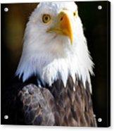 Eagle 14 Acrylic Print by Marty Koch
