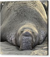 Elephant Seal 3 Acrylic Print by Bob Christopher