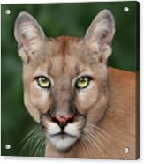 Enya Acrylic Print by Big Cat Rescue