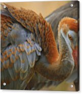 Evolving Sandhill Crane Beauty Acrylic Print by Carol Groenen