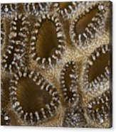 Extreme Close-up Of A Crust Anemone Acrylic Print by Terry Moore