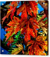Fall Reds Acrylic Print by Robert Bales