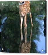 Fawn Reflection Acrylic Print by Sandra Bronstein
