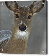 Female White-tailed Deer, Odocoileus Acrylic Print by John Cancalosi