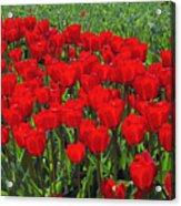 Field Of Red Tulips Acrylic Print by Sharon Talson