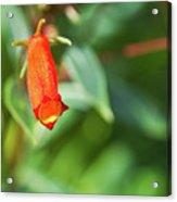 Firecracker Blossom Acrylic Print by Douglas Barnett
