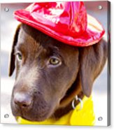Firefighter Pup Acrylic Print by Toni Hopper